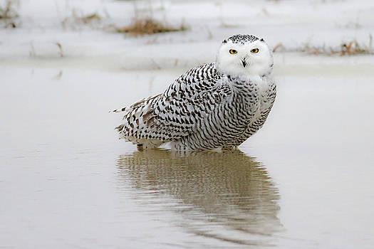 Snowy Owl by Jim Nelson