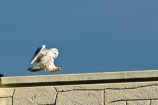 Snowy Owl Landing by Randall Branham