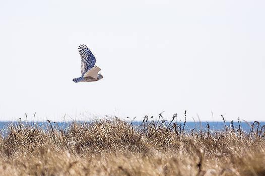 Snowy Owl Long Island by Ryan Moore