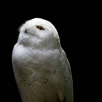 Snowy Owl Looking Into Sun by Nathan Larson