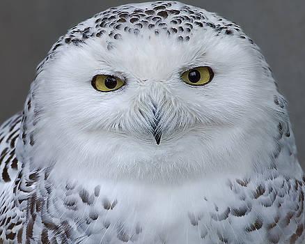Snowy Owl portrait by Sasse Photo