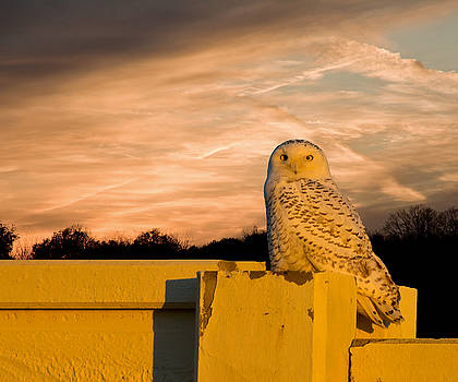 Snowy Owl Sundown by Randall Branham