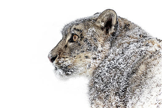 Snowy Snow Leopard D2943 by Wes and Dotty Weber