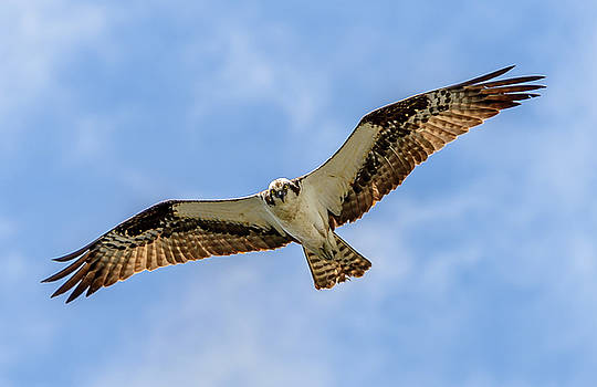 Soaring Osprey by Jerry Cahill