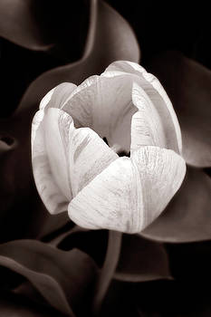 Marilyn Hunt - Soft and Sepia Tulip