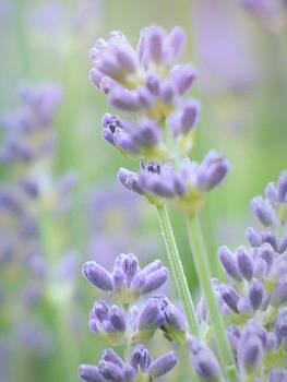 Soft Focus Lavender by Lynn Bolt