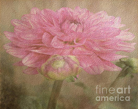 Soft Graceful Pink Painted Dahlia by Judy Palkimas