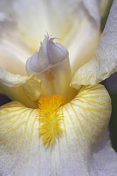 Soft Lavender Iris by Phyllis Denton