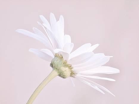 Soft Pink Daisy by Barbara St Jean