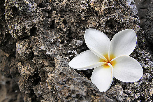 Soft Plumeria - Maui by DJ Florek