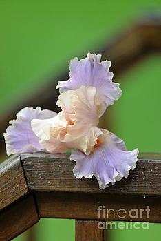 Soft Purple Iris by Lila Fisher-Wenzel