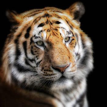 Soft Tiger Portrait by Chris Boulton