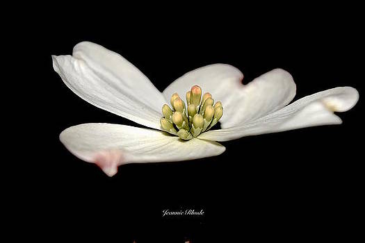 Soft White Dogwood Petals   by Jeannie Rhode Photography