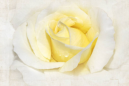 Softly Yellow Rose by Phyllis Denton