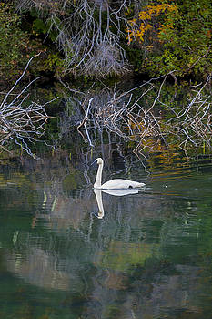 Solitary Swan in Autumn by Michele Cornelius
