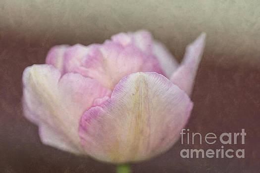 Steve Purnell - Solitary Tulip