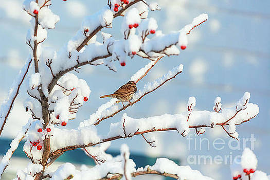 Song Sparrow by Verena Matthew
