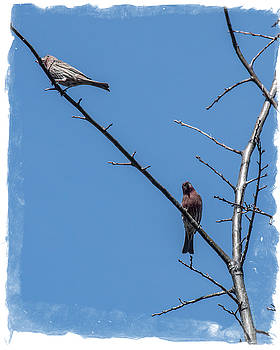 Songbirds by Mick Anderson