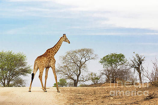South African giraffe by Jane Rix