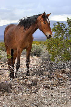 Adam Jewell - South Nopah Wild Mustang