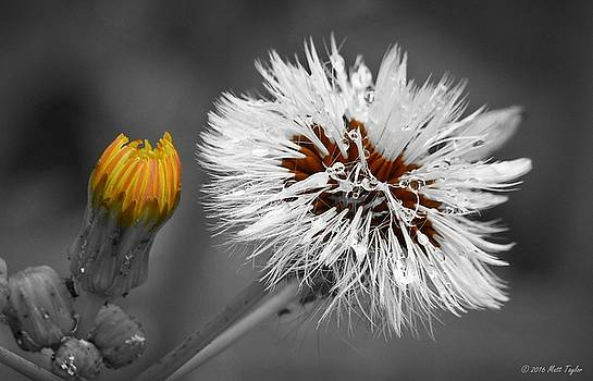 Sow Thistle Pop With Color by Matt Taylor