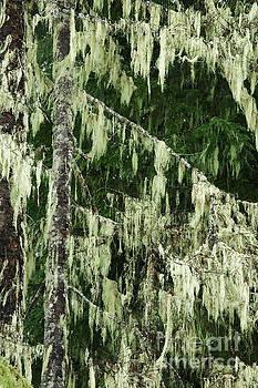 Charmian Vistaunet - Spanish Moss on Fir