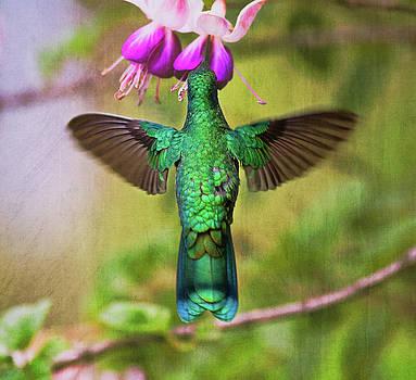 Sparkling Violetear by Ecuador Images
