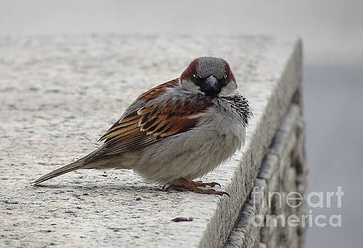 Sparrow by Angela DeFrias