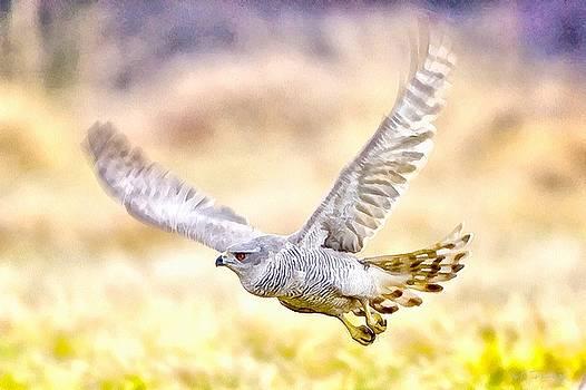 Sparrowhawk by Maciej Froncisz