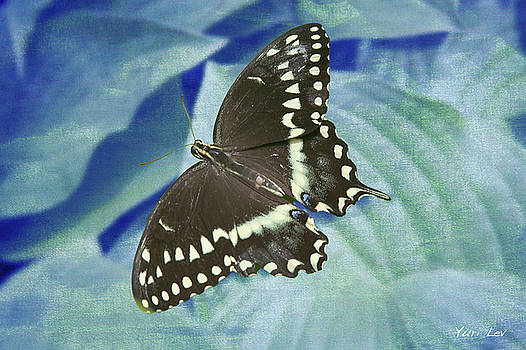 Spicebush Swallowtail Butterfly by Yuri Lev