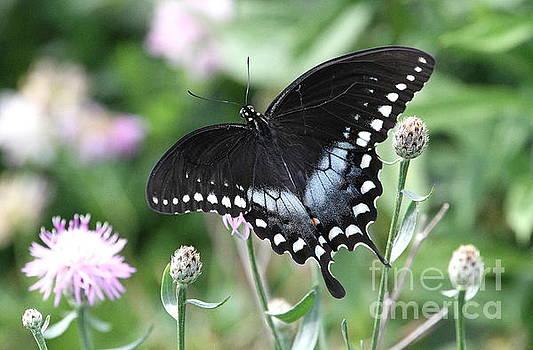 Spicebush Swallowtail by Ken Keener