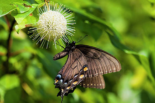 Spicebush Swallowtail on Buttonbush Wildflower by Kathy Clark