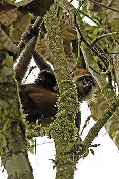 Spider Monkey With Baby in Costa Rica by Natural Focal Point Photography