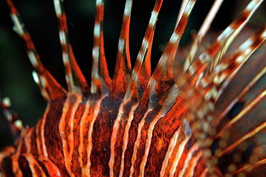 Sami Sarkis - Spiky and striped dorsal fin of a Spotfin Lionfish