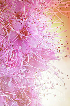 Spiraea Pretty in Pink by Ann Garrett