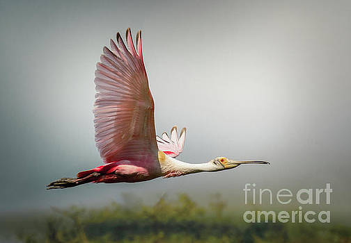 Spoonbill In Foggy Bayou by Robert Frederick