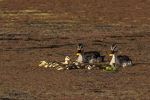 Ramabhadran Thirupattur - Spot Billed Duck Family