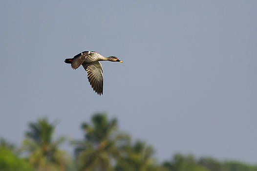 Ramabhadran Thirupattur - Spot-billed duck - In Flight