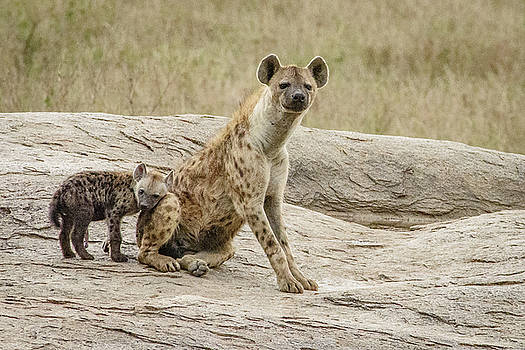 Spotted Hyena and Loving Cub by Janis Knight
