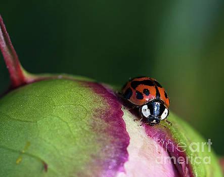 Spotted Ladybug Macro by Brandon Alms