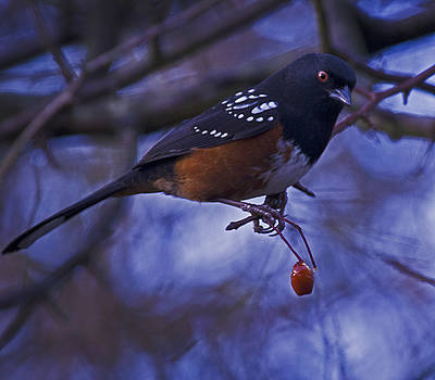 Spotted towhee by Rob Mclean