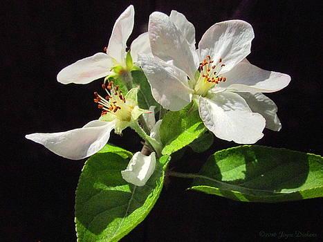 Joyce Dickens - Spring Apple Blossoms
