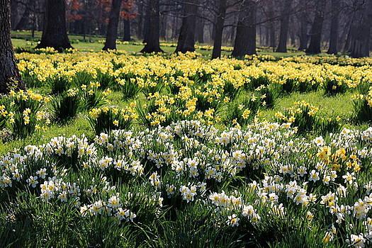 Rosanne Jordan - Spring Awakening in the Daffodil Glade