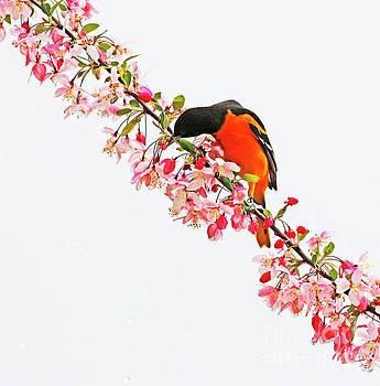 Spring Baltimore Oriole by Debbie Parker