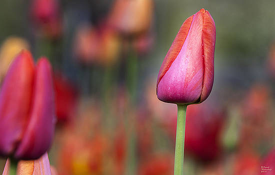 Spring Beauty 5 by David Millenheft