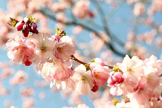 Spring Blossom by Emma Manners