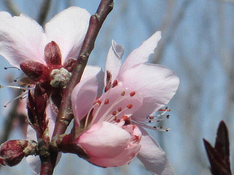 Spring Blossoms  by Rosalie Klidies