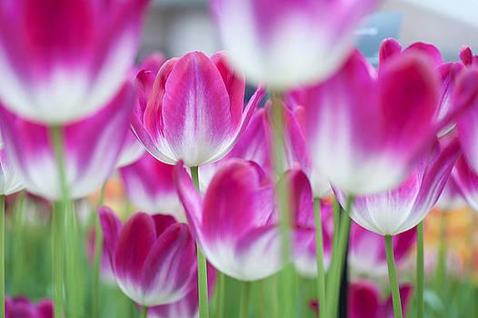 Jenny Rainbow - Spring Celebration. Tulips of Keukenhof