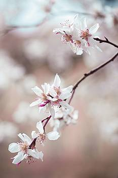 Spring Cherry Delight by Jenny Rainbow