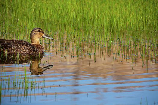 Karol Livote - Spring Duck